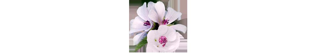 dietetica-altea-flor-hibisco